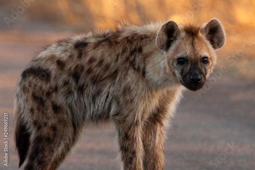 Deurstickers Hyena Spotted Hyena in the Kruger National Park, South Africa