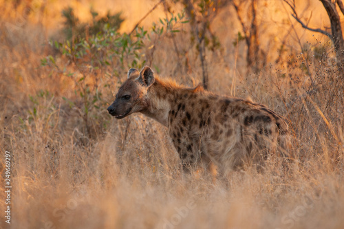 Spotted Hyena in the Kruger National Park, South Africa
