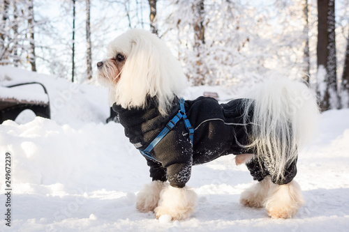 Fotografie, Obraz  dog snow winter