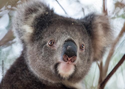Canvas Prints Koala Portrait cute Australian Koala Bear sitting in an eucalyptus tree and looking with curiosity. Kangaroo island