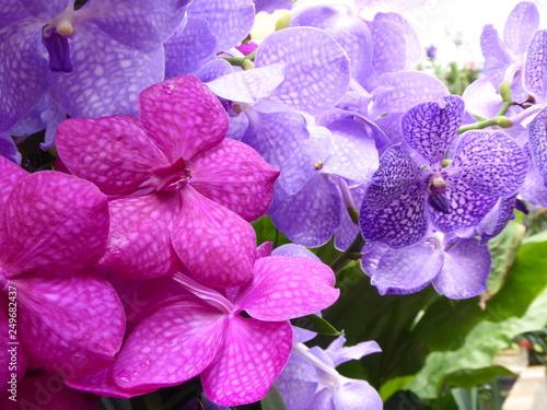 Foto  Vanda Orchideen