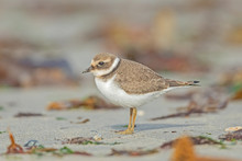 Sandregenpfeifer (Charadrius H...