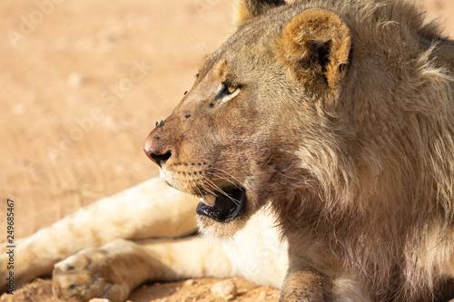 Fototapety, obrazy: lion flies