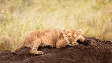 Baby Lion Cub Taking A Nap