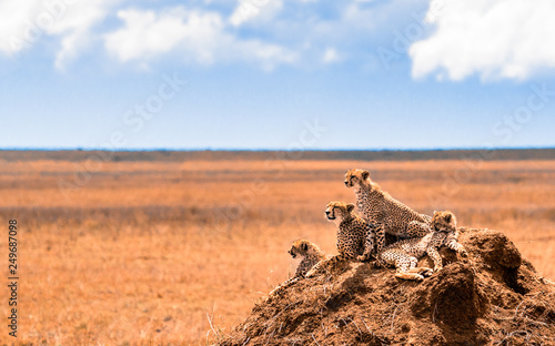Photo a family of cheetahs looking for pray