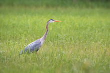 Great Blue Heron Hunting In Long Green Grass Wet Land