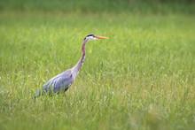 Great Blue Heron Hunting In Lo...