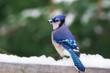 Closeup of Blue Jay bird in snow