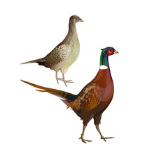 Pheasants Cock And Hen