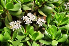 Jade Plant, Crassula Ovata Flowers In The Garden