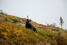 Grizzly Bear At The Top Of The World Highway, Dawson City - Alaska Border, Yukon, Canada