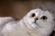 Adorable silver chinchilla Scottish fold cat