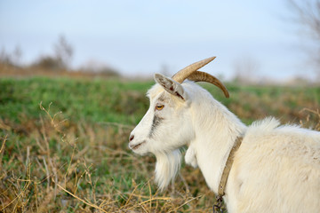 A goat grazes in a meadow and eats green grass.