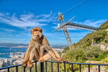 Monkey Of Gibraltar With The C...