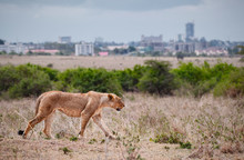 Female Lion Walking In Savanna...