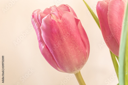 Photo  pink tulip on white background