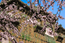 Cherry Tree Blossoming In China