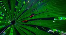 Giant Fern Plant Leaf In Australian Rainforest. Cairns Australia