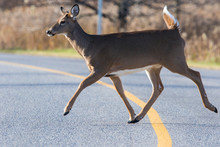 White Tailed Deer Crossing The Road