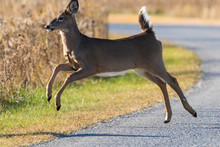 White Tailed Deer Crossing The...