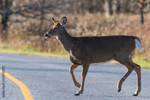 white tailed deer crossing the road Wallpaper Mural