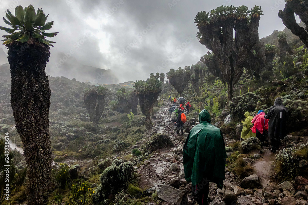 Fototapety, obrazy: Walkers on the way to the summit of Kilimanjaro, crossing a forest of senecios