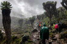 Walkers On The Way To The Summit Of Kilimanjaro, Crossing A Forest Of Senecios