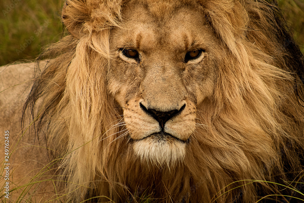 Fototapeta The lion king: beautiful male lion, close up of head and mane