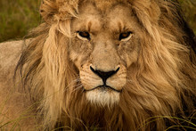 The Lion King: Beautiful Male ...
