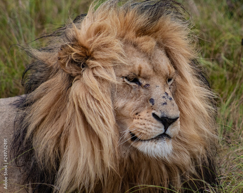 The lion king: beautiful male lion, close up of head and mane