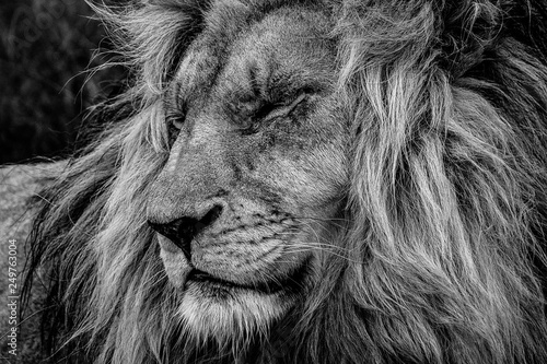 Poster de jardin Lion The lion king: profile portrait of head and flowing mane