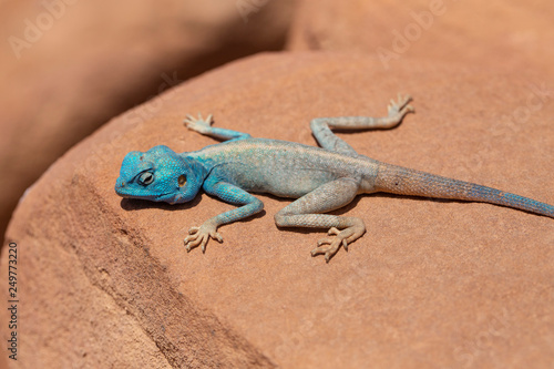 The Sinai agama (Pseudotrapelus sinaitus, formerly Agama sinaita) is an agamid lizard found in arid areas of southeastern Libya, Egypt Canvas Print