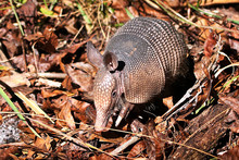 Nine Banded Armadillo (Dasypus Novemcinctus) In The Forest Floor At Blue Spring State Park In Florida