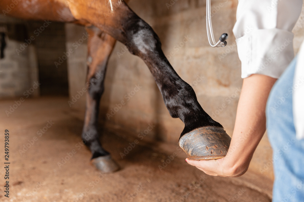 Fototapeta Veterinarian examining horse leg tendons. Selective focus on hoof.