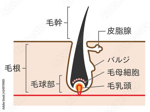 毛の構造断面図のシンプルかわいいイラスト Adobe Stock でこの