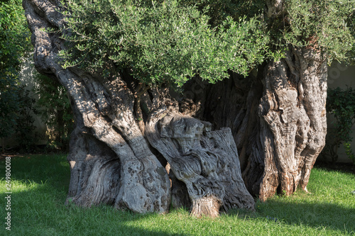 Fotografija  Tronco di albero d'olivo