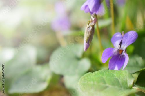 Spring background with forest violet