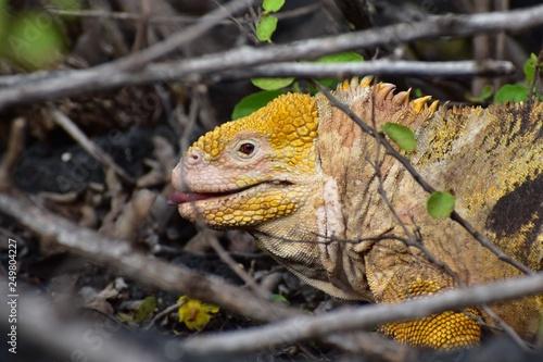 Photo  Yellow iguana in nature