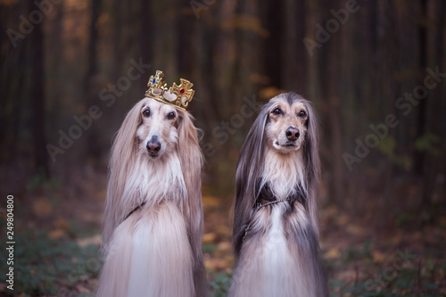 Dog in the crown,   afghan hounds ,  in royal clothes, on a natural background Fototapete