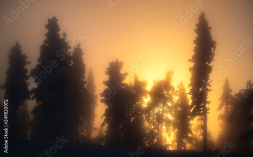 Photo Stands Eggplant Silhouette of frost and snow covered trees in taiga aka boreal forest at winter against golden sunset with sunrays through mist in Levi ski resort in Kittilä, Finland