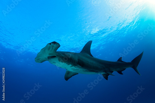 Obraz Great Hammerhead Shark (Sphyrna mokarran) against Blue Water and Surface. Tiger Beach, Bahamas - fototapety do salonu
