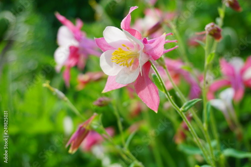 Canvas Print Aquilegia vulgaris - Common columbine