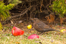 Common Blackbird (Turdus Merula) Eats An Apple