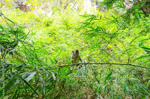 Scimmia nella foresta bambù tailandia Wallpaper Mural