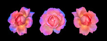 Fine Art Still Life Colorful Macro Collage Of A Set/group Of Three Isolated Rose Blossoms, Black Background,detailed Texture,surrealistic Vintage Painting Style