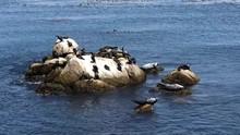 4K HD Video Harbor Seals And Cormorants