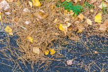 Fallen Pine Needles With Yellow Leaves On Pavement.