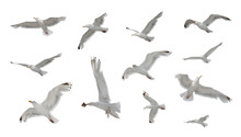 Set Of Seagulls In Flight Isolated On White Background
