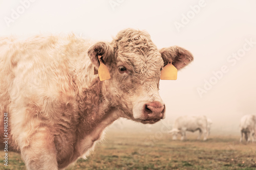 White cow on grazing in the morning autumn fog Canvas Print