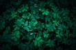 Close-up of green clovers. Shamrock leaves background. Lucky symbol, nature, irish and St. Patrick's day concept.